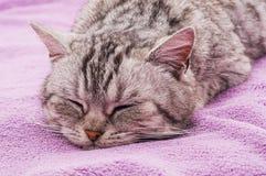 Grå katt på den purpurfärgade plädet Royaltyfria Foton