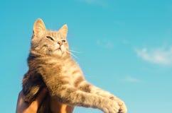 Grå katt på händer på en blå bakgrund i solljus Katt i himlen får för vaktpost för hundguardhusdjur härlig kattunge placera text  royaltyfria bilder