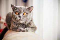 Grå katt, skotte, gulingögon Royaltyfria Bilder