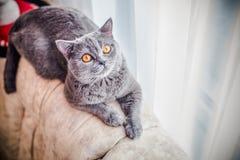 Grå katt, skotte, gulingögon Royaltyfri Foto