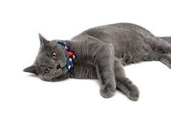 Grå katt som bär en krage med pilbågen och klirr på en vit backgro arkivfoto