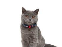 Grå katt som bär en krage med pilbågen och klirr som isoleras på en whit royaltyfria foton