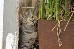 Grå katt som håller ögonen på offret Arkivfoto
