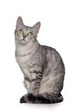 Grå katt som isoleras på vit Royaltyfri Foto