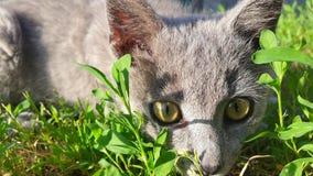 Grå katt som ligger i gräset Arkivbilder