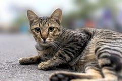 Grå katt som ligger på jordning Arkivbilder