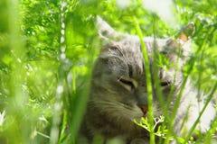 Grå katt som ligger på jordningen mellan den gröna blasten av morötter royaltyfri fotografi