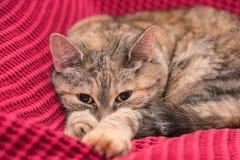 Grå katt som ligger på rosa färgfilten - närbild royaltyfria foton