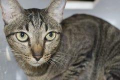 Grå katt som ser dig Fotografering för Bildbyråer
