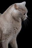 Grå katt som ser en sida royaltyfri bild