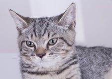 Grå katt som ser forword royaltyfria bilder
