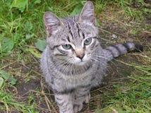 Grå katt som ser in i kameran Arkivfoto