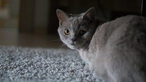Grå katt som ser kameran royaltyfri bild