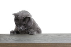Grå katt som ser på den wood plankan Royaltyfri Foto
