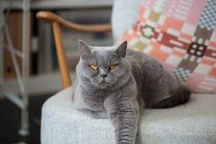 Gr? katt som sitter p? en stol arkivfoton