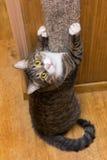 Grå katt som vässar hans jordluckrare royaltyfri bild