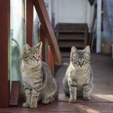 Grå katt två Royaltyfria Bilder