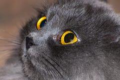 Grå kattframsida Fotografering för Bildbyråer
