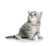 Grå kattkattunge som ser upp Arkivbilder