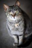 Grå kattstående Arkivbild