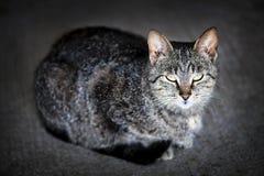 Grå kattstående Royaltyfri Bild
