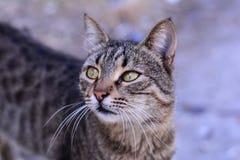 Grå kattstående Arkivfoto