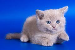 grå kattunge arkivbild