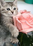 grå kattunge Arkivfoton