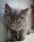 Grå kattunge Royaltyfri Fotografi