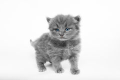 grå kattunge royaltyfria foton