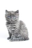 grå kattunge arkivfoto