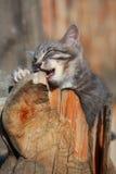 grå kattunge Fotografering för Bildbyråer