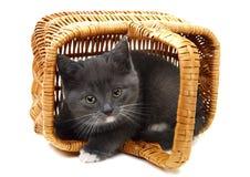 grå kattunge för korg little Royaltyfria Foton