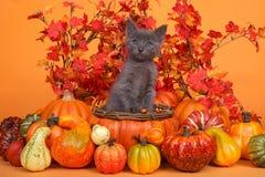 Grå kattunge i tema för skörd för höstkorgnedgång Royaltyfria Foton