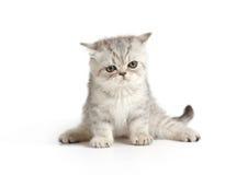 grå kattunge little som är vit arkivfoto
