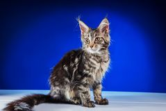 Grå kattunge Maine Coon Royaltyfria Bilder