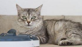 Grå kattunge med en leksak Arkivbilder