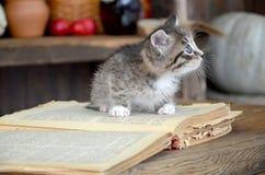 Grå kattunge med vita band Fotografering för Bildbyråer