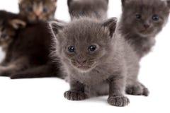Grå kattunge på bakgrund av hans bröder Royaltyfria Bilder