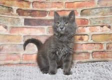 Grå kattunge på grå färgmatta Royaltyfri Fotografi
