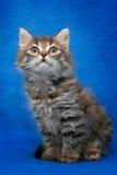 Grå kattunge som isoleras på blå bakgrund royaltyfri bild