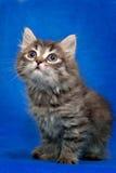 Grå kattunge som isoleras på blå bakgrund royaltyfri fotografi