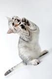 grå kattunge som leker skotsk toywhite Arkivfoton
