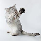 grå kattunge som leker skotsk white Royaltyfri Foto