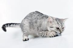grå kattunge som leker skotskt vitt barn Arkivbild