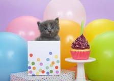 Grå kattunge som når en höjdpunkt ut ur en födelsedaggåva med muffin Arkivfoton