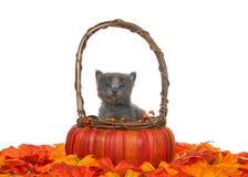 Grå kattunge som når en höjdpunkt ut ur en pumpakorg på höstsidor Royaltyfri Foto