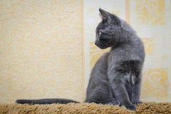 Grå kattunge som ser till sidan Royaltyfri Bild