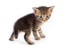 Grå kattunge som tillbaka ser Arkivbilder