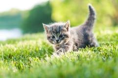 Grå kattunge utomhus i det gröna gräset Arkivbilder